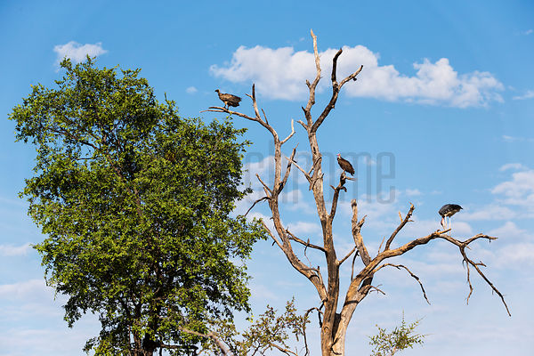 Scavengers Perched in a Dead Tree
