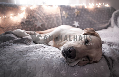 labrador being lazy and relaxing with fairylights and stars