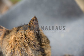 Brindle small cat part head shot and ear