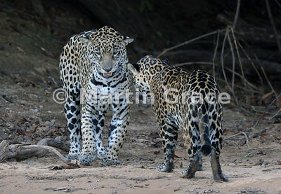 Jaguar Mating 1