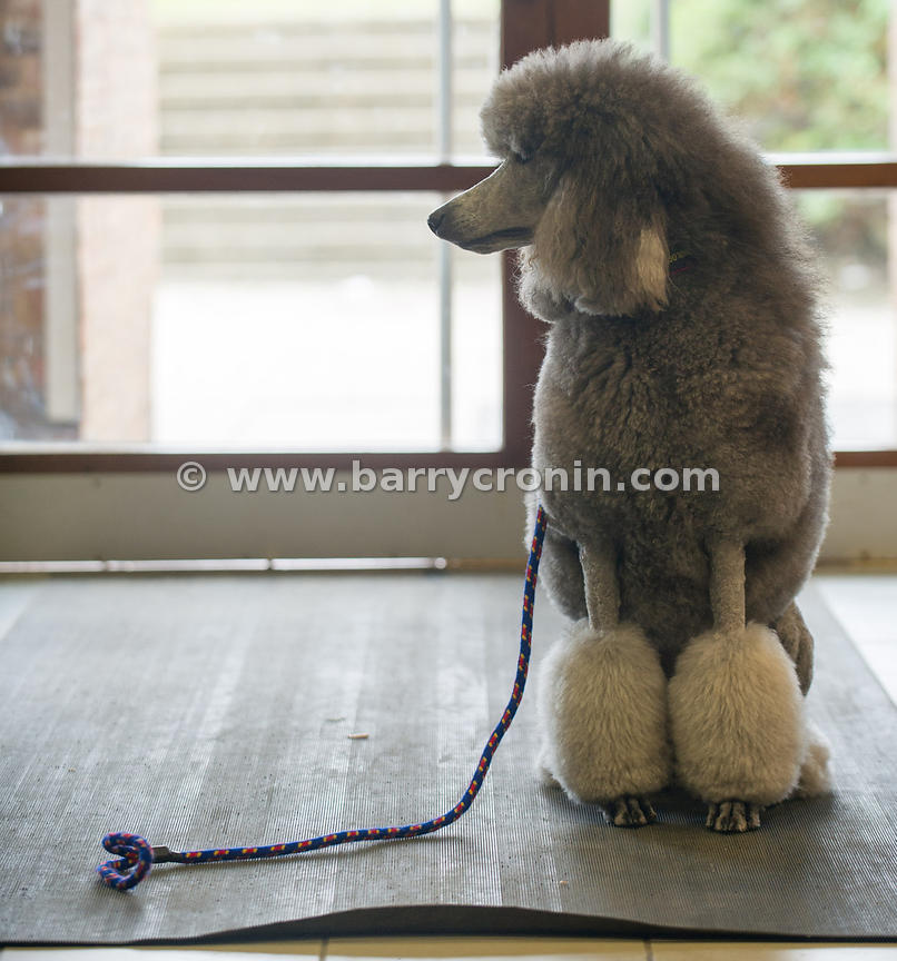 5th October, 2014.IKC (Irish Kennel Club) International show at Cloghran, Dublin. Pictured is Dakota a poodle who was Interna...