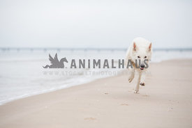 White German Shepherd Dog running full speed at the beach with cloudy sky