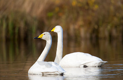 Whooper Swan couple