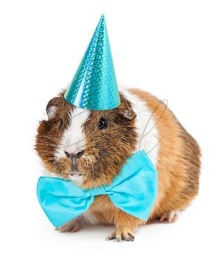 Guinea Pig Dressed For Birthday Party
