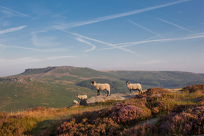 Sheep with Higger Tor backdrop