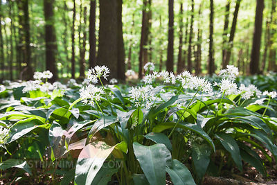 Germany, North Rhine-Westphalia, Eifel, wild garlic