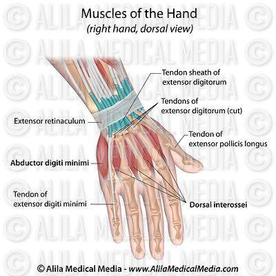 Muscles of hand dorsal view labeled.