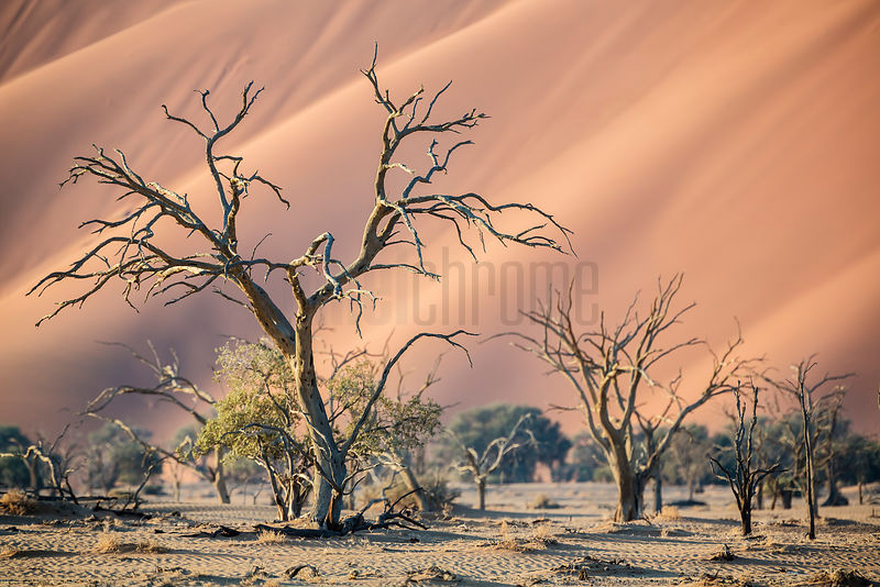 Camelthorn Trees in the Dry Tsauchab River Bed