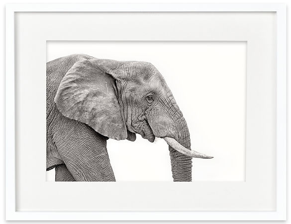African Elephant | Africa on White