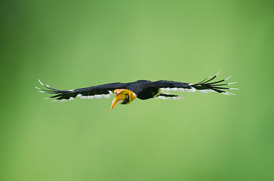 Great Hornbill (Buceros bicornis) also known as Great Indian Hornbill and Great Pied Hornbill Tiwang Malaysia