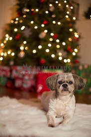 Senior shih tzu dog in front of Christmas tree and presents