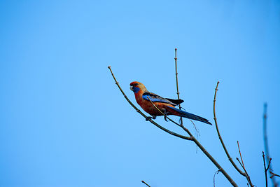 Adelaide Rosella in a tree