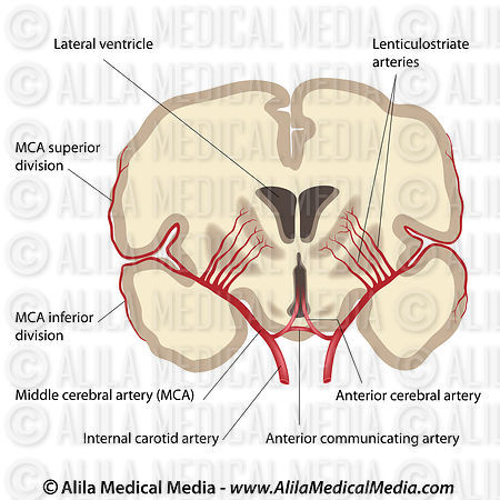 Middle cerebral artery, labeled drawing.