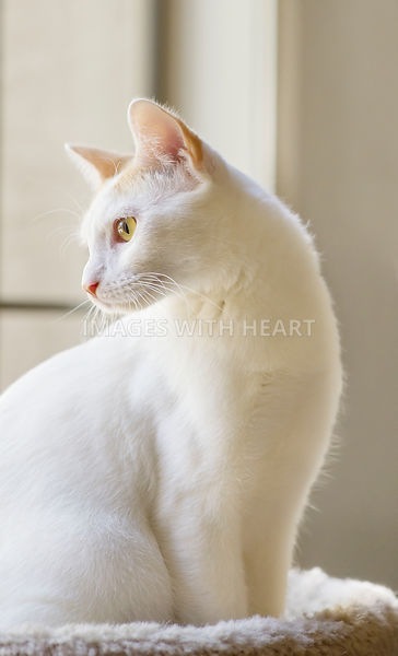 White cat looking out the window