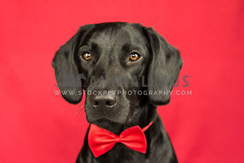 Black labrador cross wearing red bow tie in front of red background