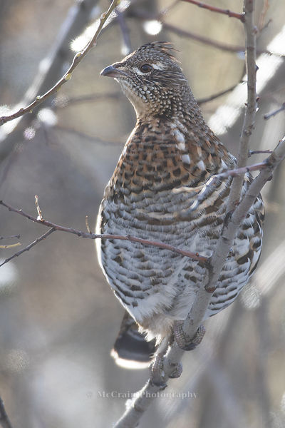 A Ruffed Grouse that was eating buds off a bush beside the highway as we went over Sherman Pass.