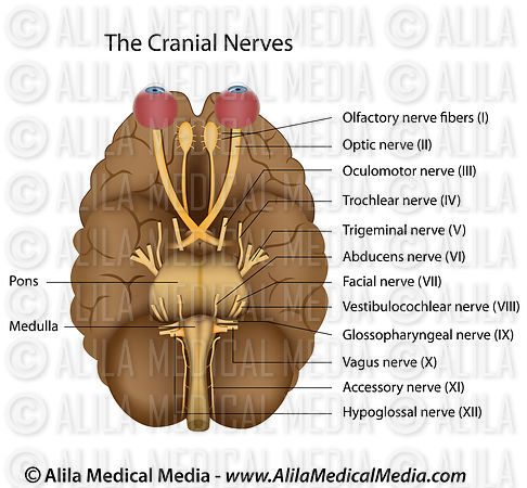 The 12 cranial nerves, labeled.