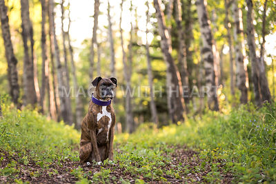 Plain brindle boxer with purple collar sitting