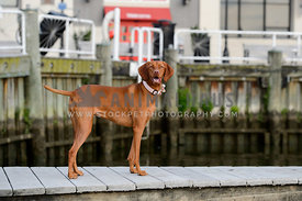 vizsla smling on marina dock