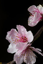 Peach Blossoms # 12