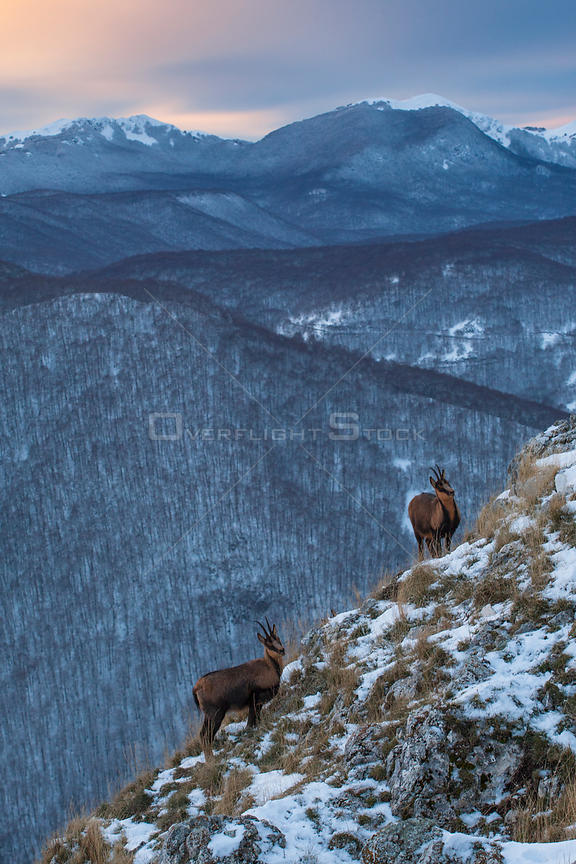 Apennine chamois (Rupicapra pyrenaica ornata) females in snowy mountain habitat. Endemic to the Apennine mountains. Abruzzo, ...