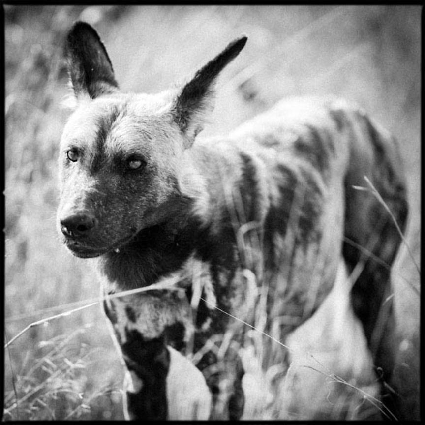 6241-Wild_dogs_Laurent_Baheux