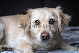 Gentle golden retriever dog lying on a textile mat