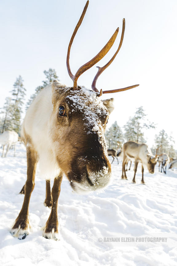 Wide angle close-up of reindeer in Lapland