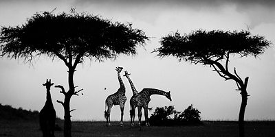 1419-Giraffes_between_trees_Kenya_2006_Laurent_Baheux