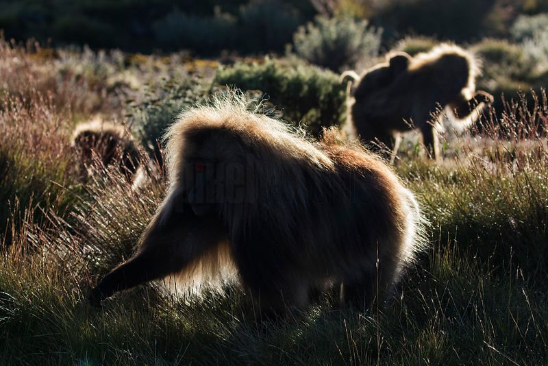 Gelada Baboons Feeding after Sunrise