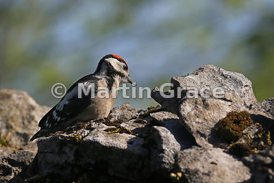 Juvenile Great Spotted Woodpecker (Dendrocopos major) on a dry limestone wall, Cumbria, England