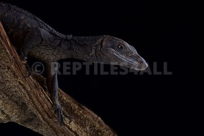 Black water monitor (Varanus salvator komaini)