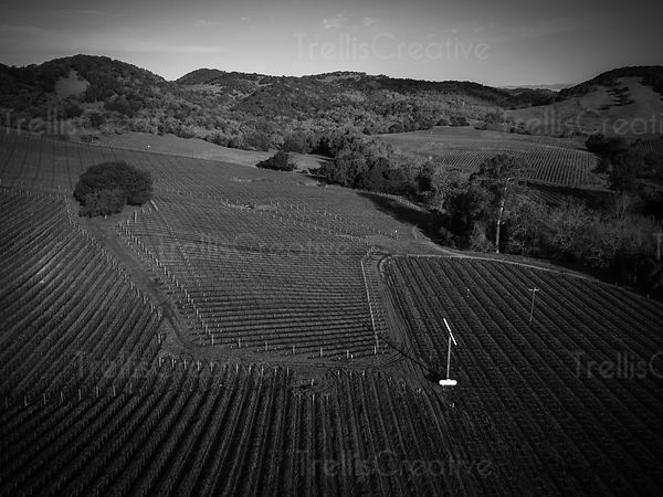Aerial  black and white view of vineyard landscape at Napa Valley