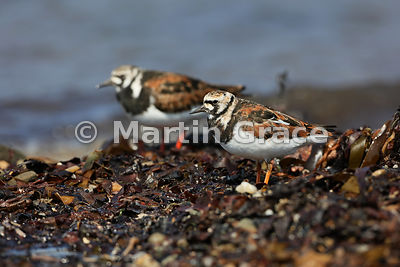 Female or first summer male Ruddy Turnstone (Arenaria interpres) with summer-plumage male out-of-focus behind, Bigton Wick, M...