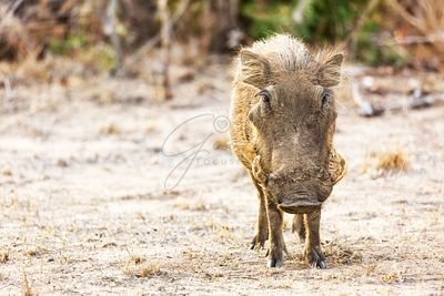 Warthog in Kruger National Park