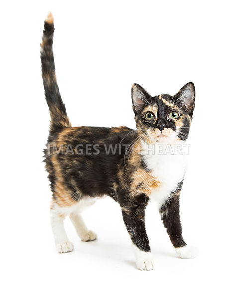 Young Calico Cat Isolated on White