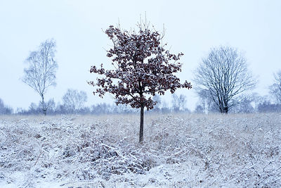 Limited edition Giclée fine art print of a red leaf tree in the frost on Chobham  Common, Surrey.