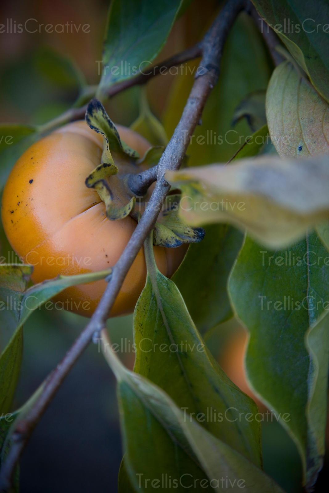 Ripe persimmons hanging on the tree