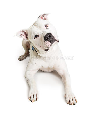White Pit Bull Dog Lying Down Tilting Head