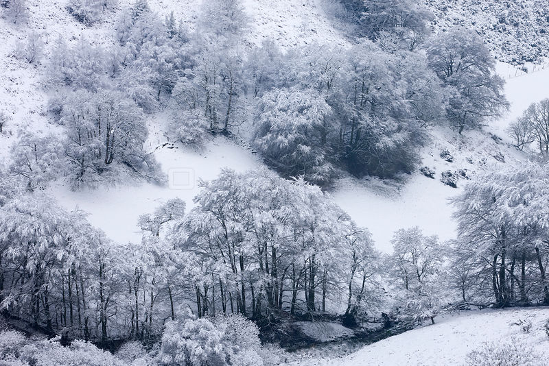 Snow covered trees in The Punchbowl, Exmoor National Park, Somerset, England. January 2012.