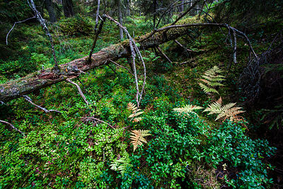 Old forest on the island of Jussarö