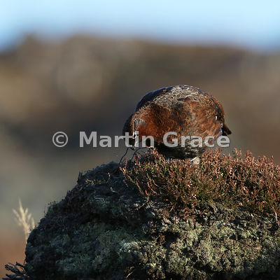 Red Grouse (Lagopus lagopus scotica) feeding on the shoots of Heather (Ling) (Calluna vulgaris), early January, Lochindorb, S...