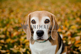 Beagle in park in autumn