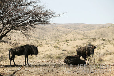 Wildebeests in tree shadow