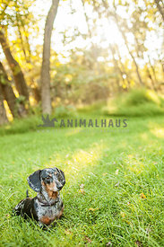 dachshund sitting in grass with sun rays