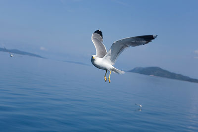 Goéland en vol PN des Iles Kornati Croatie / Gull in flight PN of the Kornati Islands Croatia