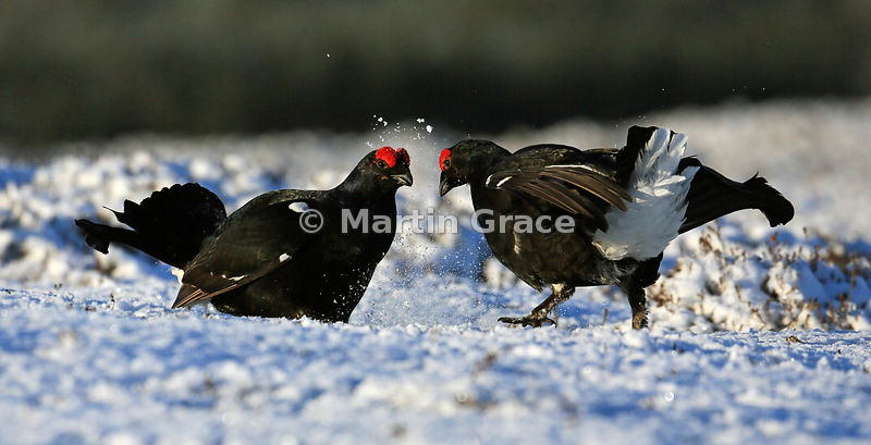 Two male Black Grouse (Lyrurus (Tetrao) tetrix) squaring up to one another on the lek, Royal Deeside, Scotland