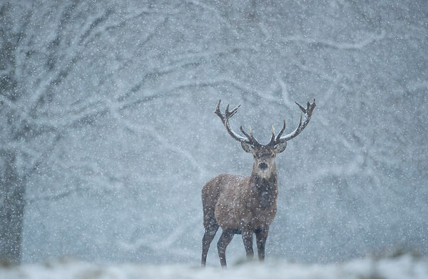 Red Deer Stag in a Blizzard, Yorkshire