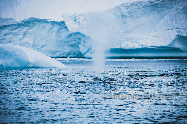 A humpback whale breathing in the cold waters of the Ilulissat Icefjord in Greenland