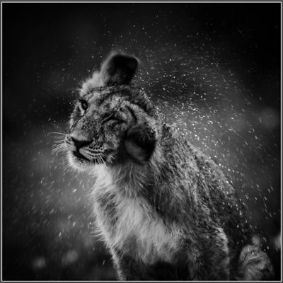 4690-Lion-Cub_after_the_nap_Kenya_2006_Laurent_Baheux